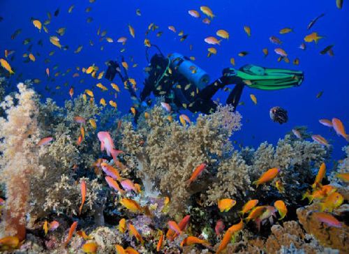 Diver by a coral reef with Anthias fishes, Red Sea, Egypt